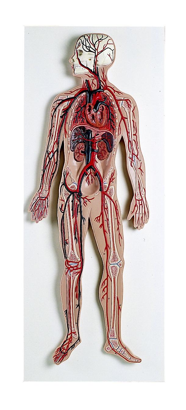 Circulatory System Model Frey Scientific Cpo Science