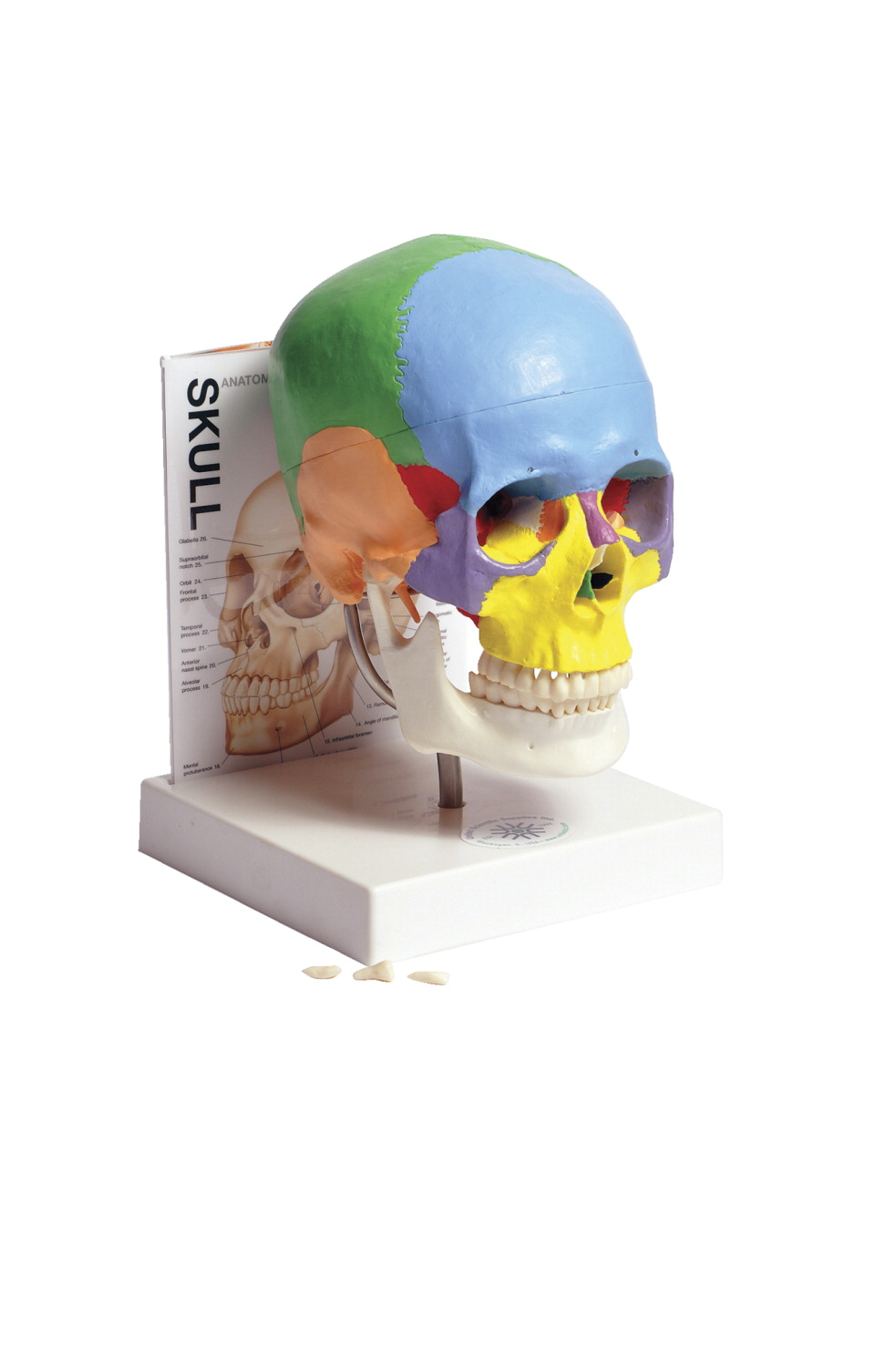 United Scientific Human Skull With Guide School Specialty Marketplace