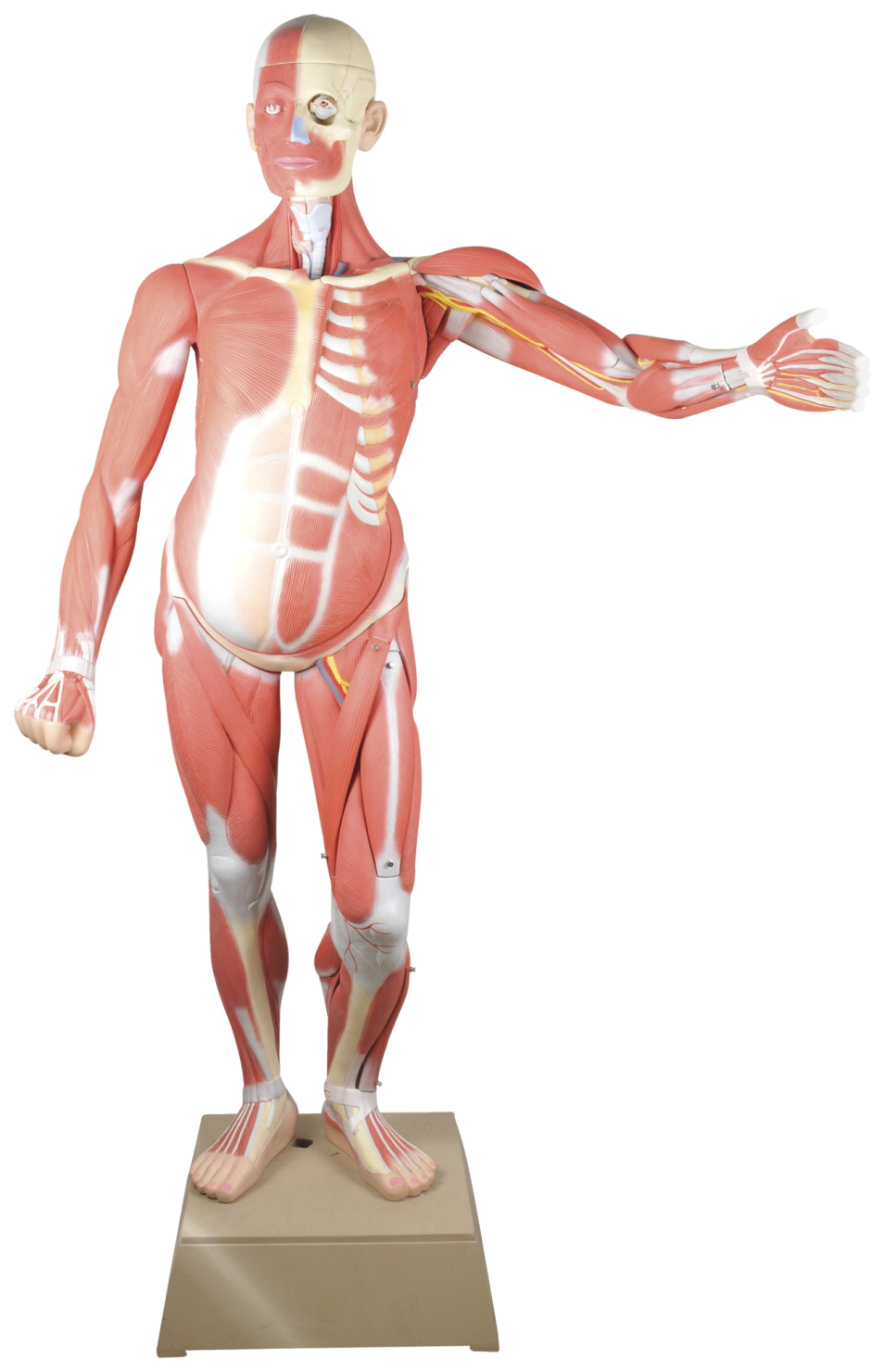 EISCO Muscular Human Anatomy Model