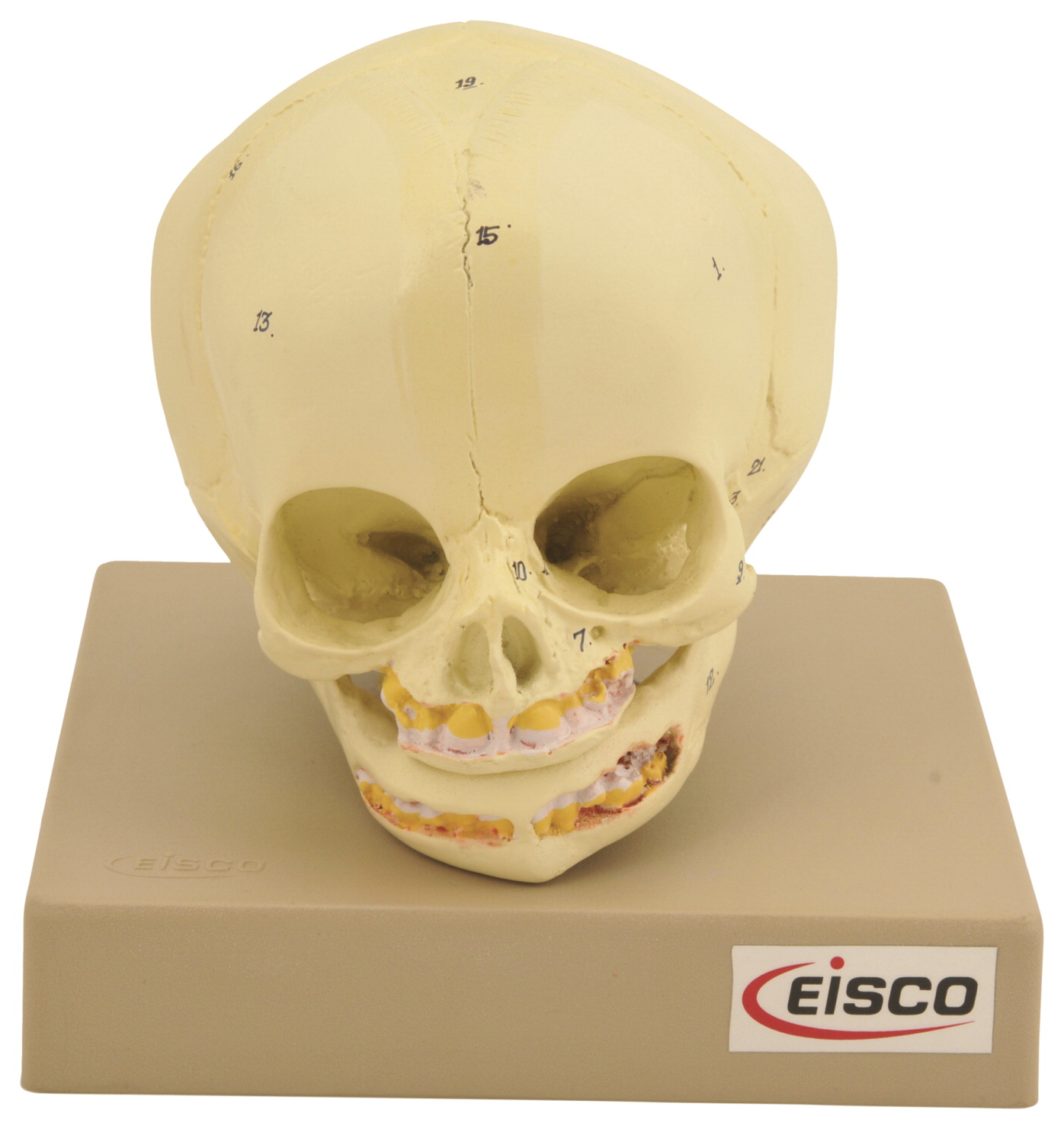 EISCO Artificial Infant Skull Model