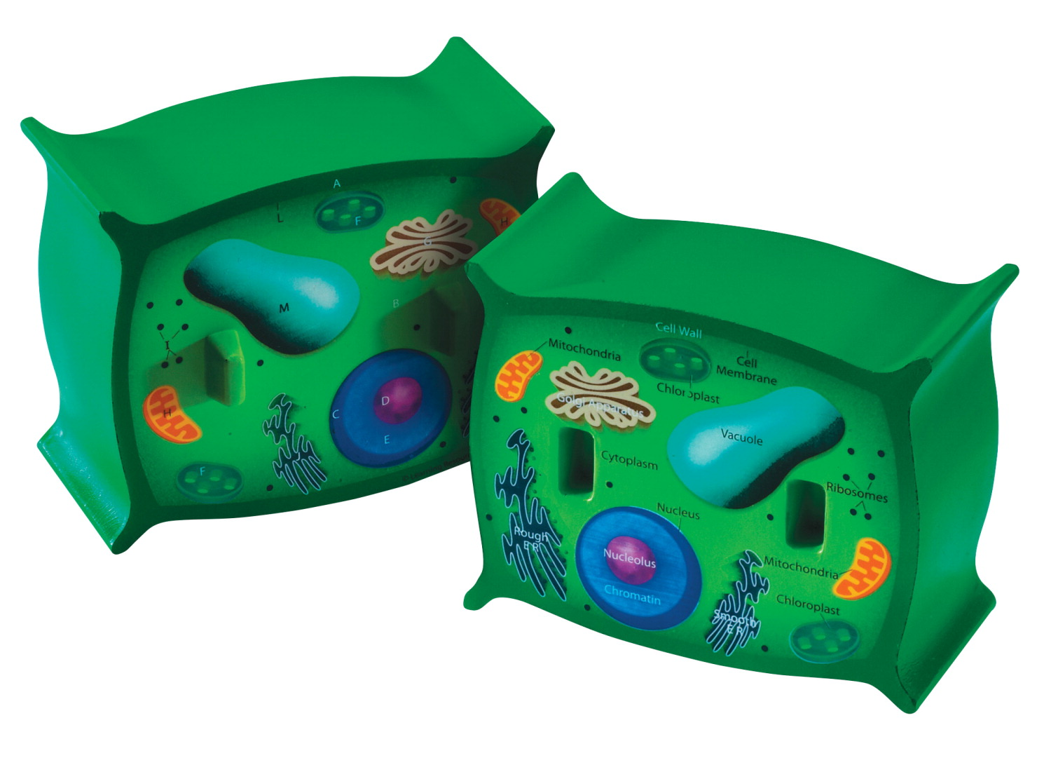 Plant Cell Cross-Section Model - SCHOOL SPECIALTY CANADA