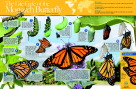 Neo/SCI Monarch Butterfly Life Cycle Laminated Poster, 35 in W X 23 in H