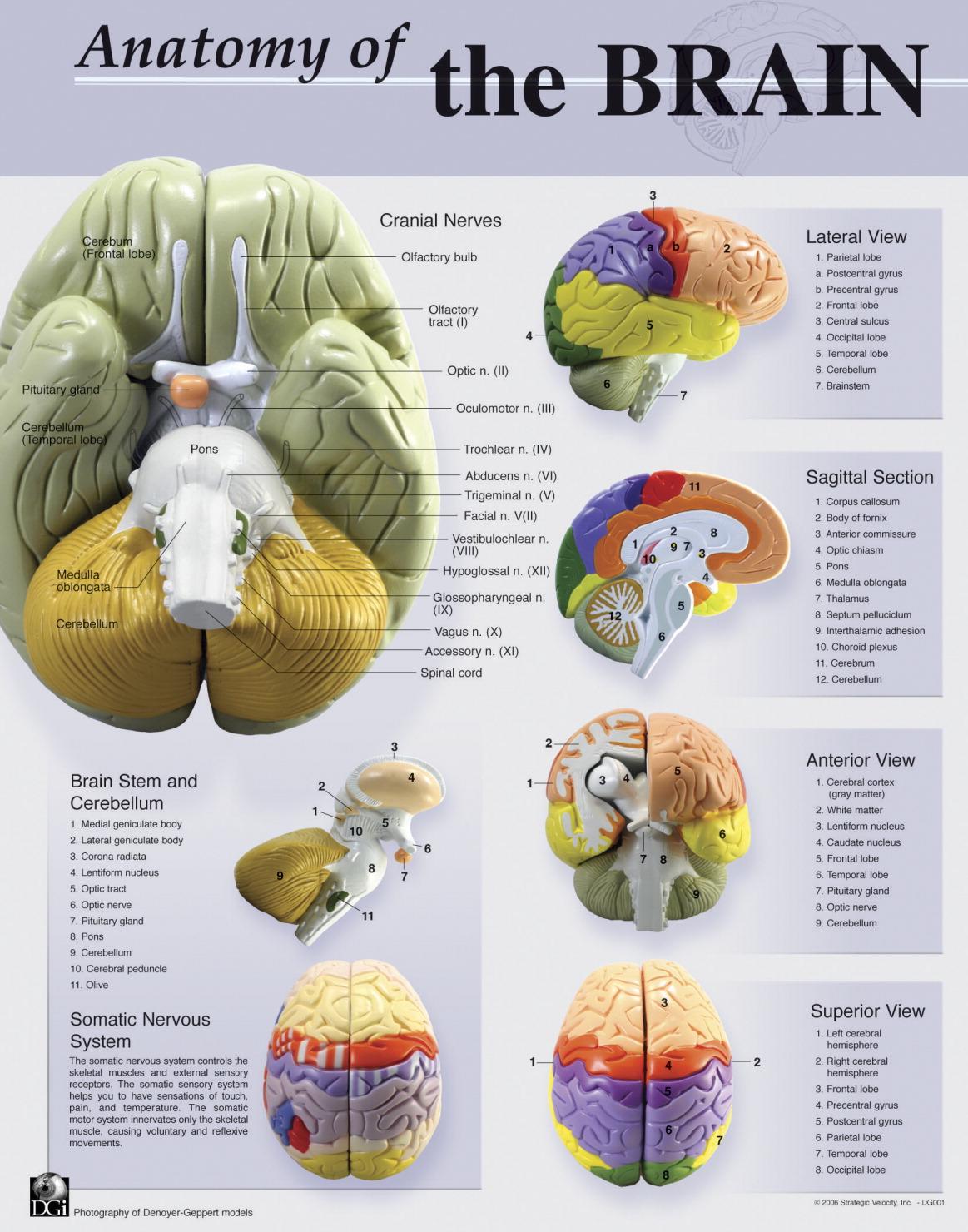 Brain Anatomy Poster - FREY SCIENTIFIC & CPO SCIENCE