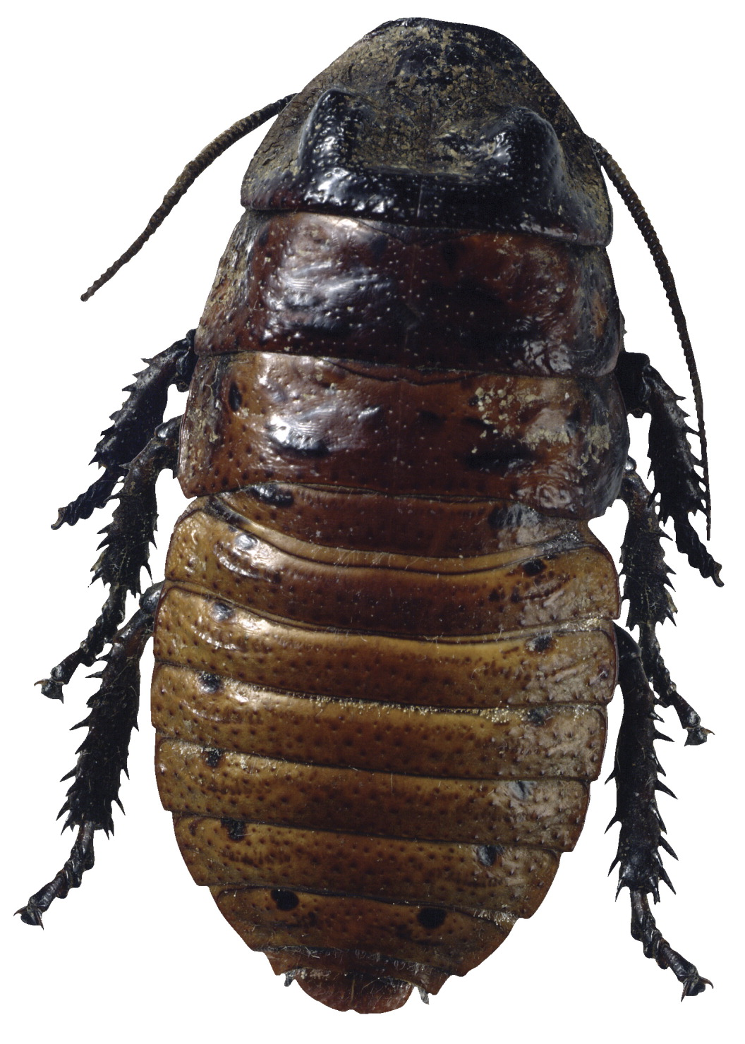 Frey Scientific Madagascar Hissing Cockroach Living Material Coupon - Female