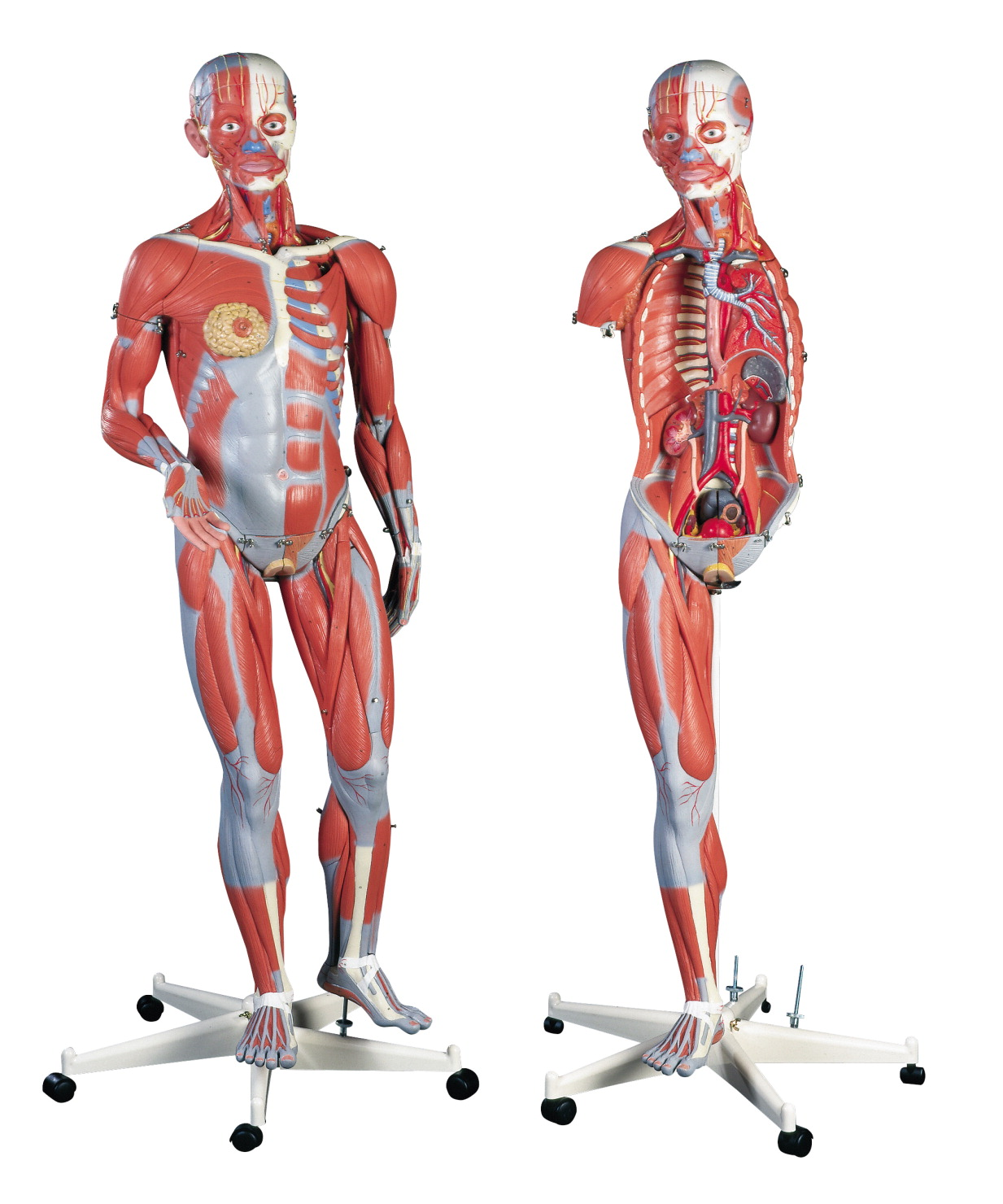 Adult Asexual Muscular Anatomical Model