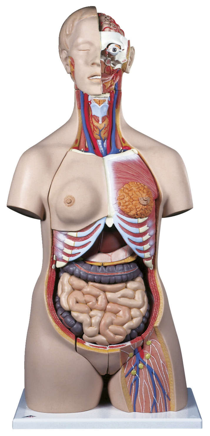 Torso Model School Specialty Marketplace Anatomy Diagram 3b Scientific Deluxe Dual Sex 24 Pieces