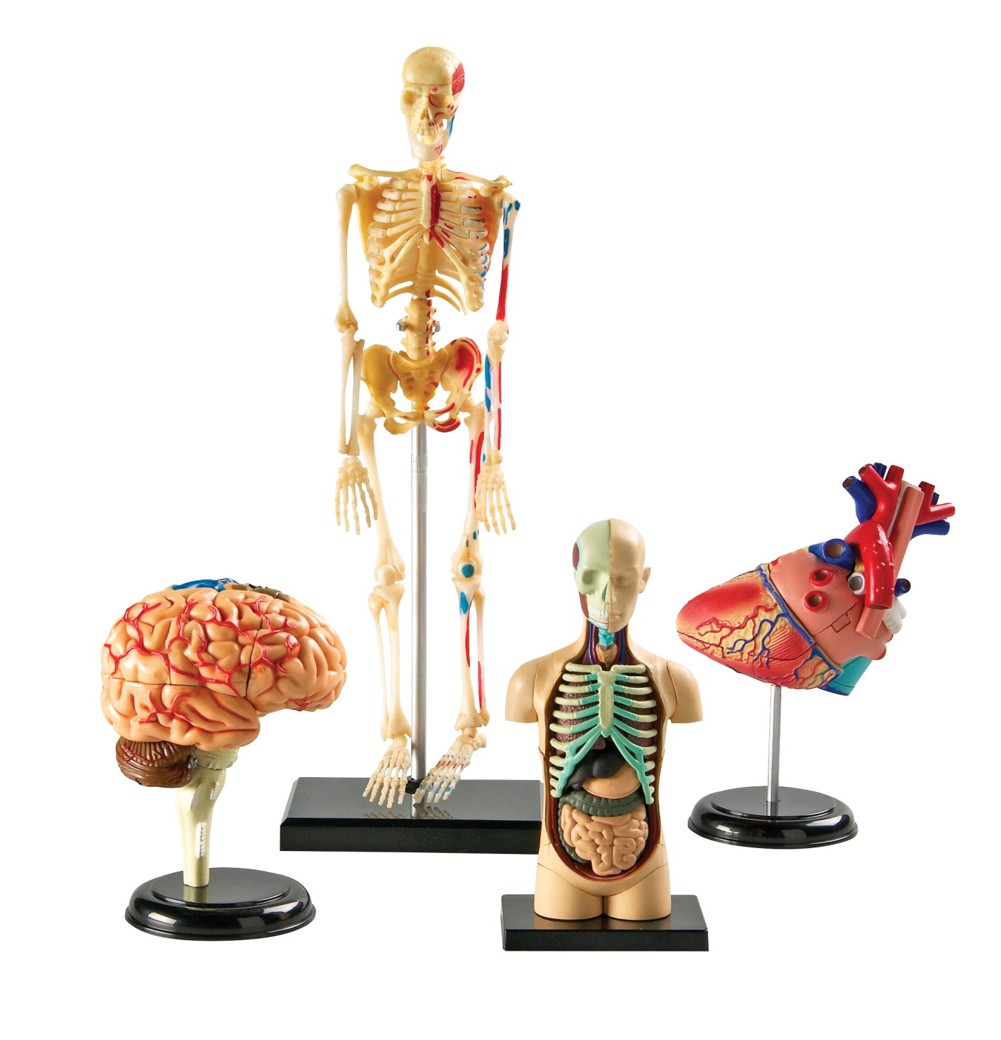 Human Anatomy Model Set Frey Scientific Cpo Science