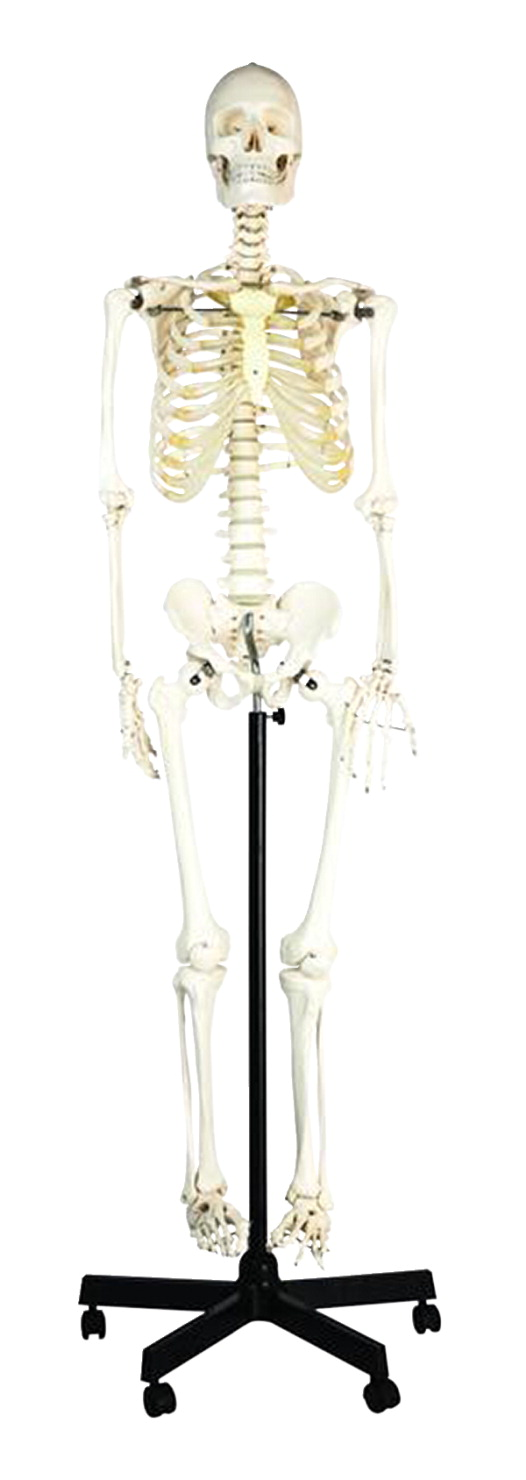 Eisco Basic Human Skeleton Model Rod Mounted School Specialty Canada