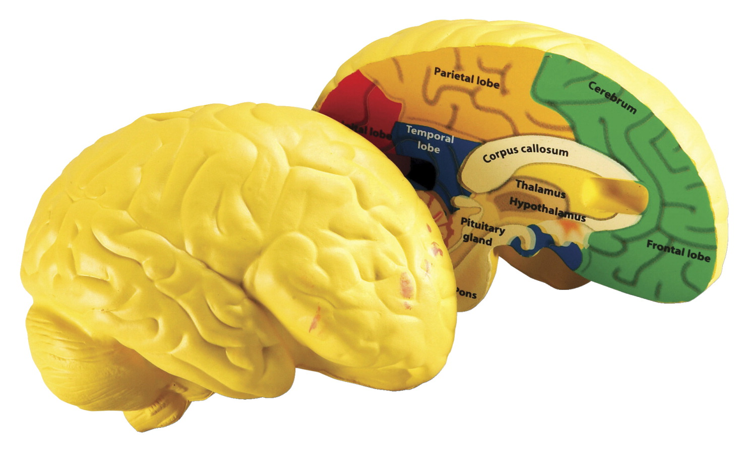 Human brain cross section model frey scientific cpo science learning resources cross section human brain model ccuart Images