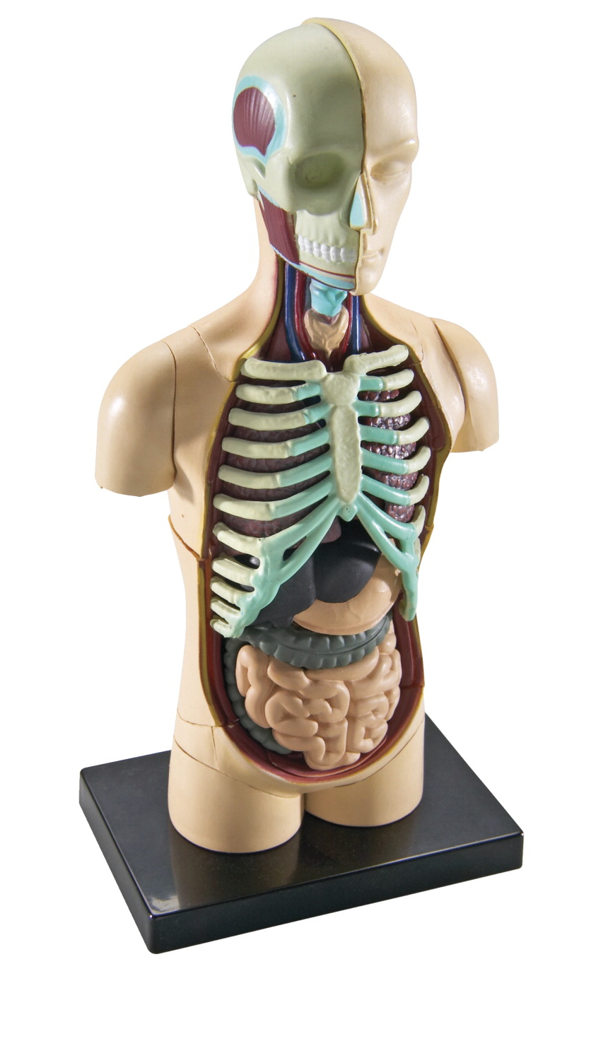 Human Body Model Set Frey Scientific Cpo Science