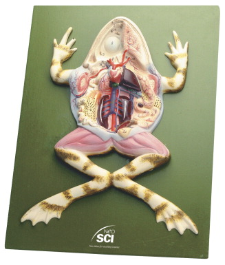 Frog Dissection Model - FREY SCIENTIFIC & CPO SCIENCE