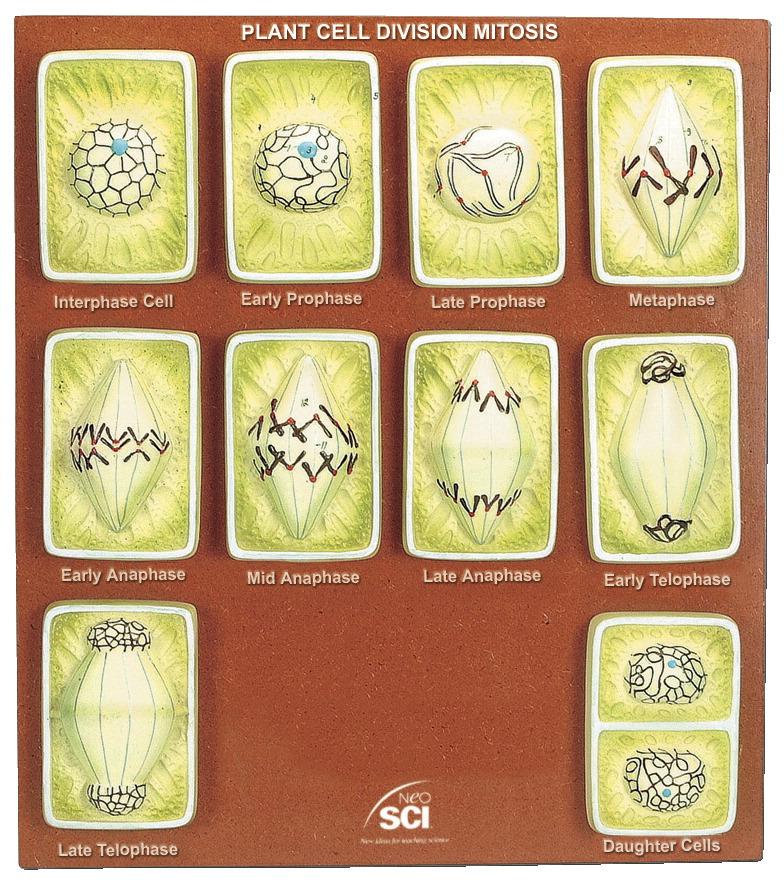 Plant Cell Mitosis Model - FREY SCIENTIFIC & CPO SCIENCE